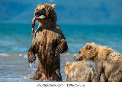 Brown bear and her cubs feeding on sockeye salmon, Kuril Lake area, Kamchatka, Russia.