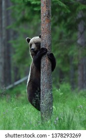 Brown bear hugging a tree in forest. Save the forest.