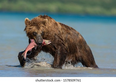 Brown bear hunting sockeye salmon in the river systems around Kuril Lake, Kamchatka Peninsula, Russia.