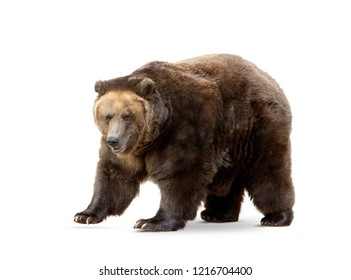 brown bear isoalted on white