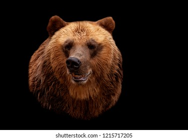 Brown bear isolated on a black background