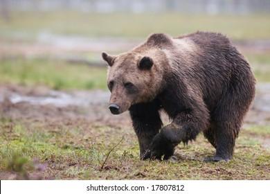 Brown bear at a lake