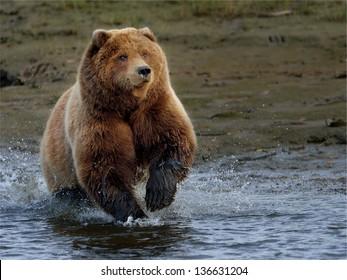 Brown bear at Lake Clark chasing salmon