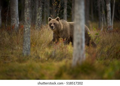 The brown bear is the largest predator in Europe. He lives in Europe, Asia and North America.
