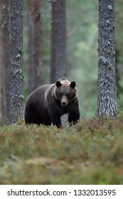 brown bear in the late evening forest scenery