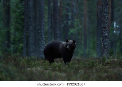 brown bear late in the evening in forest landscape
