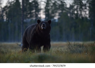 Brown bear late in the evening with misty forest background