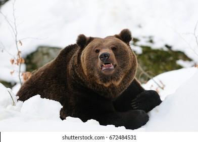Brown bear lie in the snow, bavarian forest, (ursus arctos)