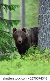 Brown bear looking from behind a tree in a taiga forest at summer evening. Wet fur. Rainy. Natural habitat. Nordic nature.