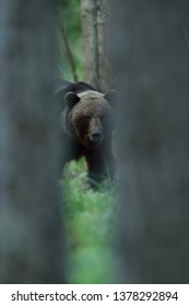 Brown bear looking between the trees. Bear behind the trees.