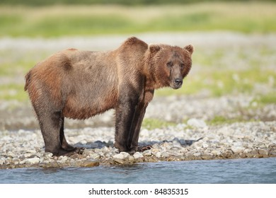 Brown bear looking for fish. Katmai, Alaska