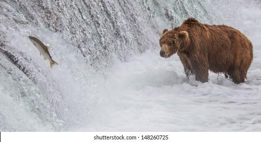 Brown Bear Looking At Salmon Jumping up the Falls. A Brown bear fishing at the Brooks Falls at Katmai National Park, Alaska