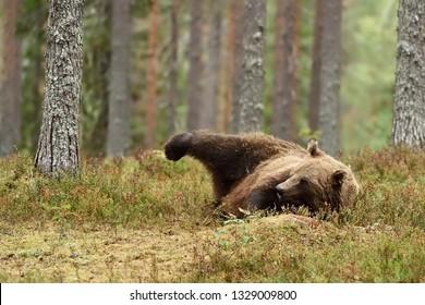 Brown bear lying on the ground, raising his leg. Funny moment.