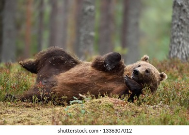 Brown bear lying on his back in the forest. Big male bear chilling.