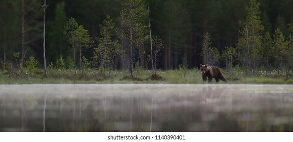 Brown bear in a misty taiga forest. Panoramic view of brown bear in taiga environment.