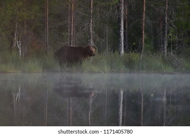 Brown bear in misty taiga scenery with water reflection