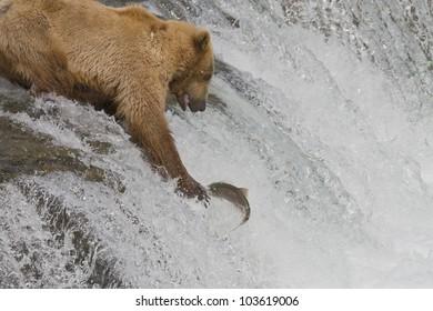 Brown Bear mom catching salmon in Katmai National Park, Alaska
