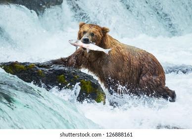 Brown bear on Alaska