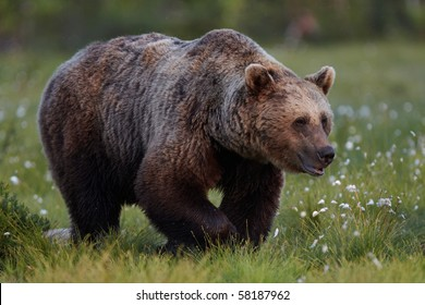 Brown Bear on the Field