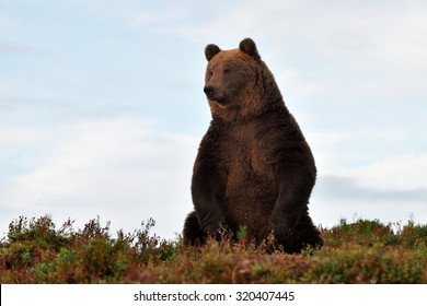 brown bear on the hill with blue sky on the background
