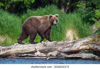 Brown bear on the river fishing for salmon. Brown bear chasing sockeye salmon at a river. Kamchatka brown bear, scientific name: Ursus Arctos Piscator. Natural habitat. Sunset light. Kamchatka, Russia
