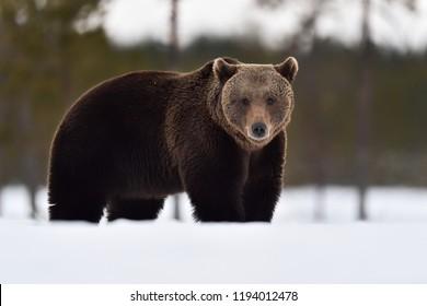 Brown bear on snow. Big male bear on snow.