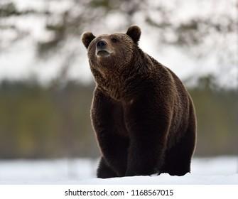 brown bear on snow in winter