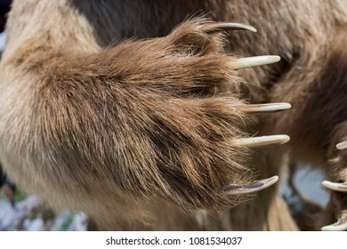 Brown Bear Paw With sharp Claws in view