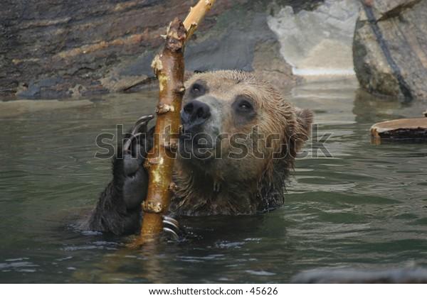 Brown bear playing in pool