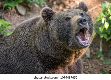Brown bear portrait in Bayerischer Wald National Park, Germany