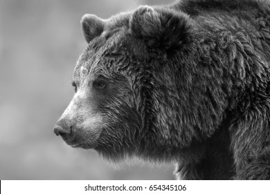 Brown bear portrait close up. Black and white