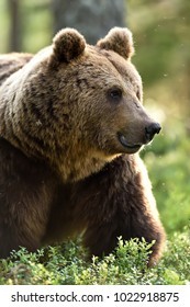 Brown bear portrait in forest, lot of mosquitoes