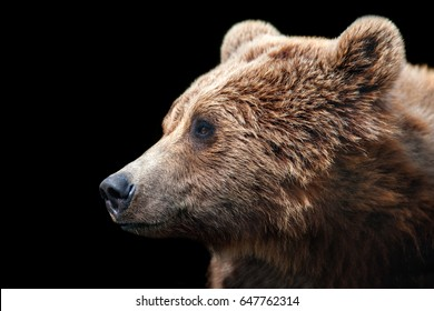 Brown bear portrait isolated on black background