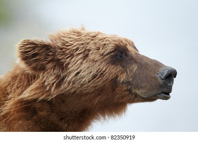 Brown bear portrait. Katmai, Alaska