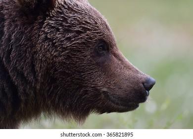 Brown bear portrait. Side view of bear face.