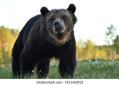 Brown bear portrait in summer scenery