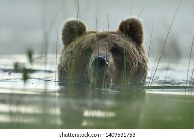 Brown bear portrait in water. Bear head above the water.