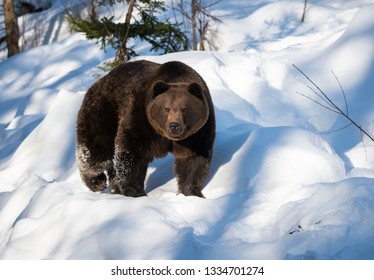 brown bear prowling around in the snow in winter - National Park Bavarian Forest - Germany