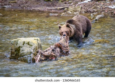 Brown bear with red deer carcass in his mouth is going across the river, Bieszczady Mountains in Carpathian Region, Poland, Eastern Europe. European dangerous wildlife. Meetings with big animals