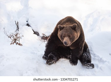 brown bear relaxing in the snow in winter - National Park Bavarian Forest - Germany