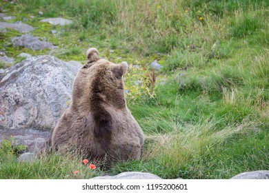 Brown bear resting on grass
