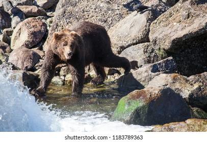 Brown Bear at a Rocky River