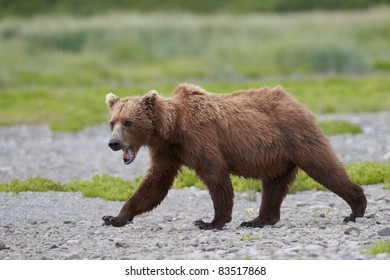 Brown bear running. Katmai, Alaska