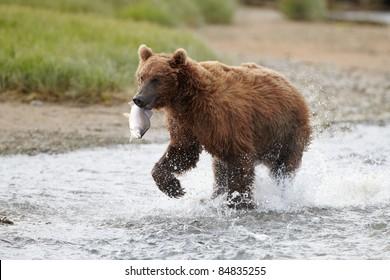 Brown bear running with salmon. Katmai, Alaska