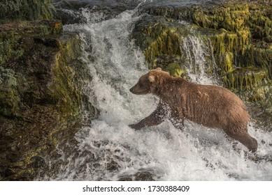 Brown Bear Runs Across Waterfall in Katmai National Park, Alaska