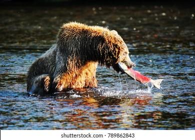 Brown bear   Russia   Kamchatka Region   2016