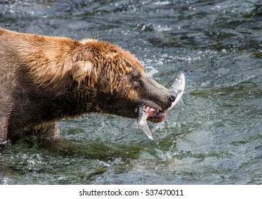 Brown bear with a salmon in his mouth. USA. Alaska. Katmai National Park. An excellent illustration.