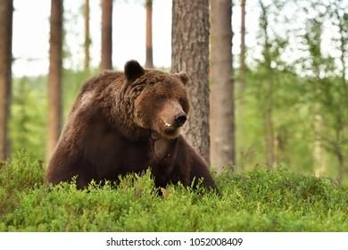 Brown bear scratching. Big male bear.
