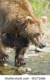 A brown bear scratching his chin while looking for salmon.