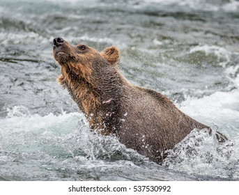 Brown bear shakes off water surrounded by splashes. USA. Alaska. Katmai National Park. An excellent illustration.